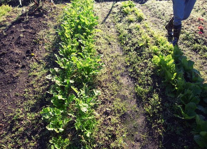 無農薬で育てているから葉っぱが虫食いだらけ。