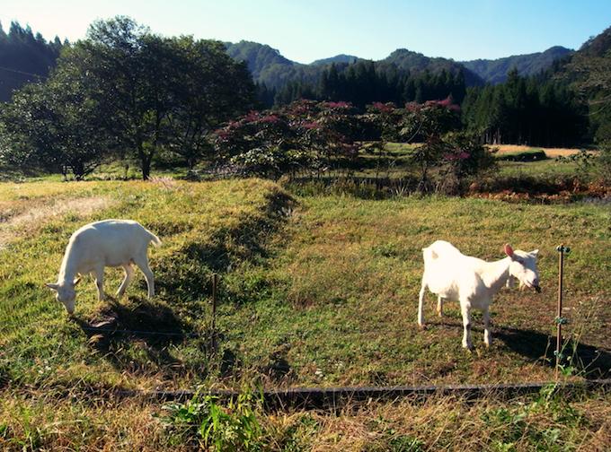 ヤギは、365日ひたすら草を食う。