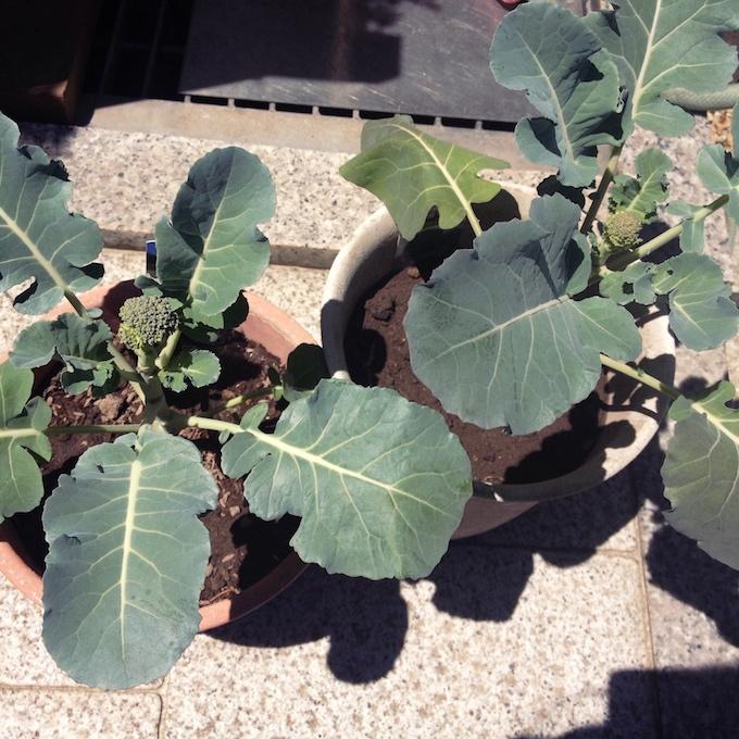 失敗から育て方を学ぶ!ブロッコリー栽培の観察日記