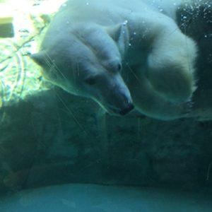 旭山動物園のシロクマやレッサーパンダがかわいい!オオカミや他も
